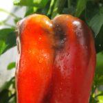 Tres pasos con tips para cultivar hermosas plantas de morrón en pequeños espacios.